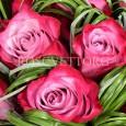 Лиловые Розы
